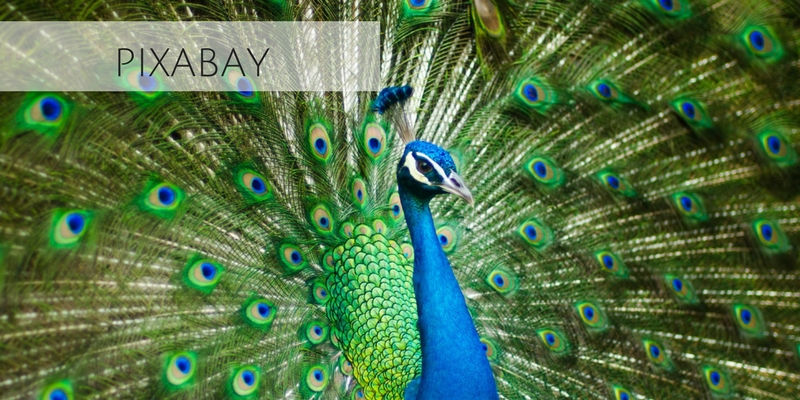 Beautiful stock photograph of peacock from Pixabay