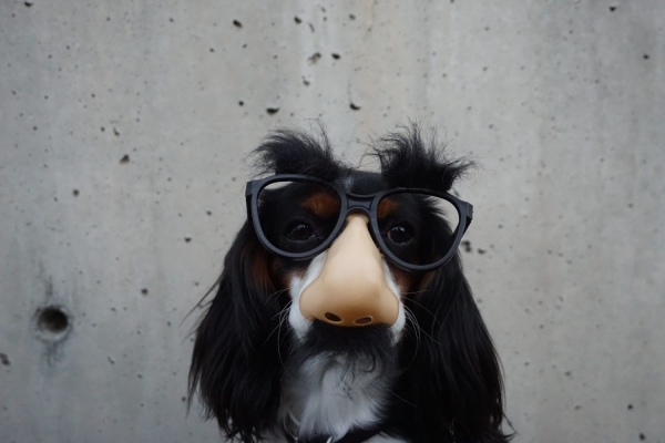 Dog in sunglasses with fake nose and fake mustache