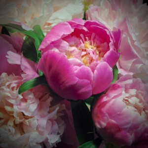 Close up of Peonies in bloom