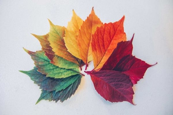 A fan of leaves varying in color between green to yellow to orange to red.